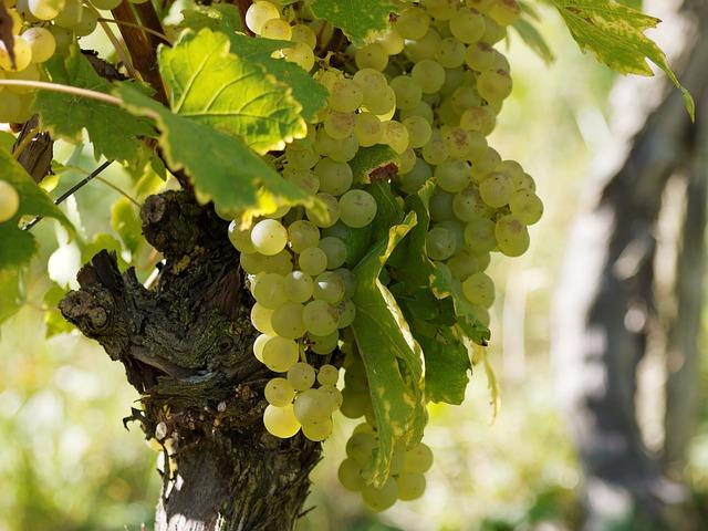 ブルゴーニュのブドウ栽培の景観の画像1