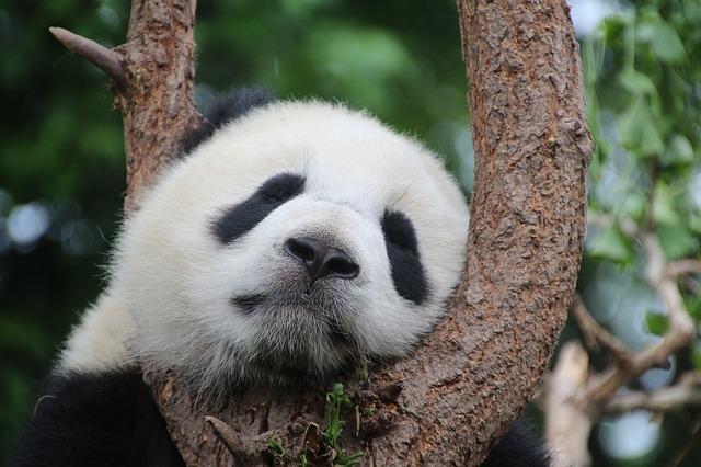 四川省ジャイアントパンダ保護区群の画像1