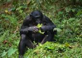 http://world-heritage.s3-website-ap-northeast-1.amazonaws.com/img/1497758790_bonobo.jpg
