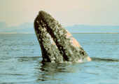http://world-heritage.s3-website-ap-northeast-1.amazonaws.com/img/1522689249_640px-Gray_whale.jpg