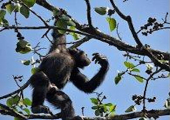 http://world-heritage.s3-website-ap-northeast-1.amazonaws.com/img/1532186089_Voa_Guinea_chimpanzee_picking.jpg